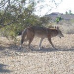 Coyote in Fountain Hills AZ