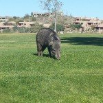 Javelina at the Park