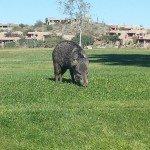 Javelina at the Park