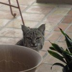 Living in Arizona- Bobcat