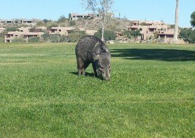 Fountain Hills Javelina- Fountain Park